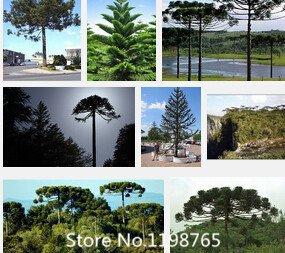 Promotion 2016 graines 50 Araucaria plantes d'extérieur Rafraîchissant Bonsai plantes graines de feuillage arbre graines de semences Novel