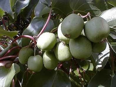 2 Hardy Kiwi Plants - Actinidia - Anna and Meader - 2.5' Pot