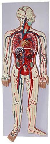YZ-YUAN Modelo del Sistema de circulación sanguínea Humana