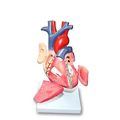 CHUTD Modelo anatómico de corazón Humano, Modelo de coraz�