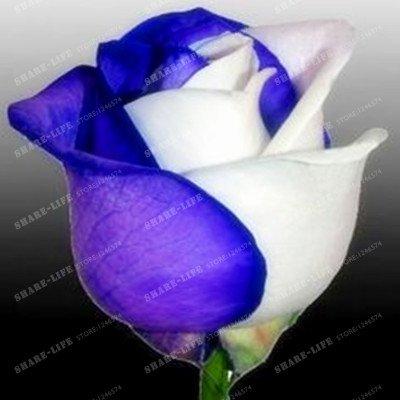 100 particules rares Bleu Rosa chinensis Belle Graines de fleurs Graines de fleurs Rose Arbuste parfum du thé Balcon Bonsai Jardin des Plantes 2