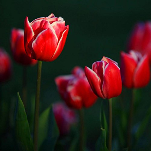 Oldhorse 7 Couleurs Parfum Tulipe Graine Décor Fleur Bonsaï Graines Maison Jardin Plantes En Pot (50, Rouge)