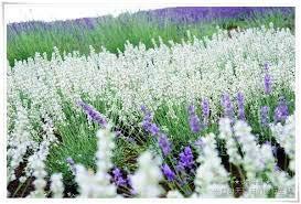 Soteer Garten- Echter Lavendel Samen (Lavandula angustifolia) Topfpflanze duftend mehrjährig winterhart, Premium Saatgut kommen aus Provence