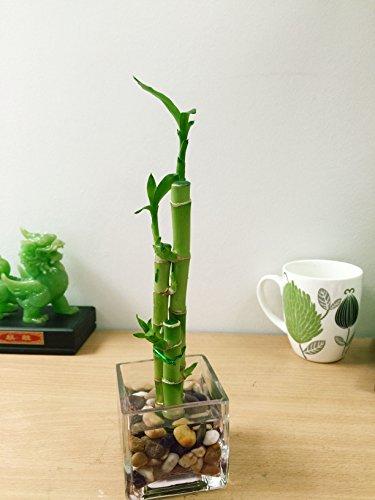 Easy Plants - 1 Jarrón de bambú con guijarros (3 tallos), Growing in Cube Glass Vase
