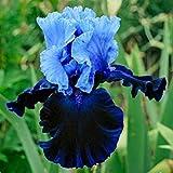 Aimado Seeds Garden-20 Pcs Rare Iris en Mélange Graines Fleurs Graines, couleur riche, arôme épanoui, vivaces ornementales Maison Jardin Extérieur plante Iris graines fleurs