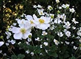 Anemone 'Honorine Jobert' 1 x 1 LTR Pot Well Established Free P+P