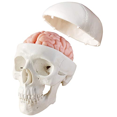 Newest Miniature Human Skull Model,3 Part With 2-Part Human Brain;Half Life Size Skull with Brain;Human Head With Brain for Medical Teaching Learning, Art Sketch,Educational Display Tool Human Anatomy