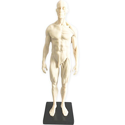 HUBERY MODEL 11 Inch Male Human Anatomy...
