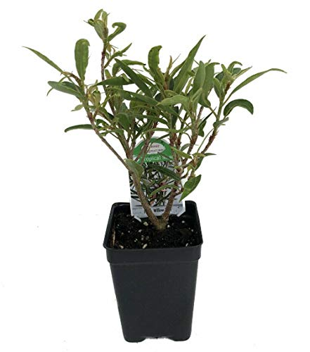 SmartMe Live Plant - Willow Leaf Weeping Fig - Ficus - 2.5' Pot - Fairy Garden Plant or Bonsai - Tree Plant