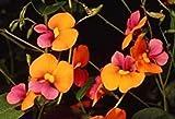 SANHOC Samen-Paket: Chorizema diversifolia Flamme Pea 10 Samen