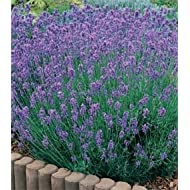 LAVENDER COMMON ENGLISH 1000 SEEDS