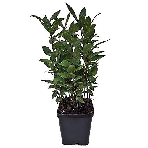 Laurel Árbol Natural en Maceta Pequeña Planta Laurus Nobilis