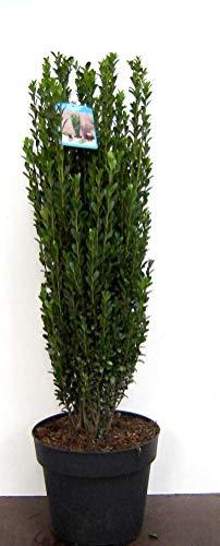 2 x Säulen Ilex, Höhe: 90-100 cm, Ilex Fastigiata, ähnlich BUCHSBAUM + Dünger
