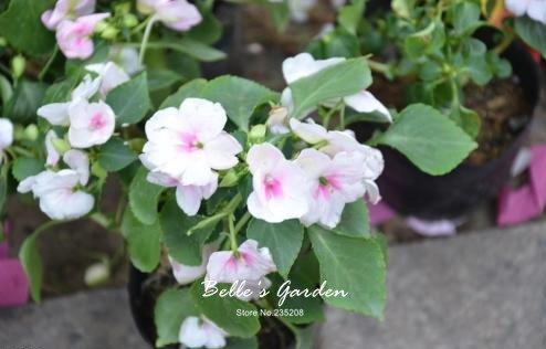 100 pcs / sac de graines de Balsamine, belle plante de fleurs Accueil Jardin Fleurs en pot semences intérieur Graines Bonsai 8