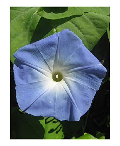 PREMIER SEEDS DIRECT - Morning Glory - Ipomoea - Heavenly Blue - 600 Seeds