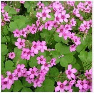 100 semillas/bolsa Semillas de trébol rojo en macetas Jardín Semillas de trébol de cuatro hojas Flor de trébol rojo Balcón Plantas vegables para el jardín de su casa