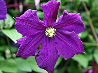 """Live Plant - Clematis Polish Spirit Vine - Rich Purple - Blue - 2.5"""" Pot - Flowering Plant"""