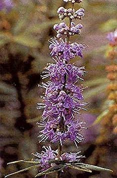 ASTONISH Pacchetto semi: Vitex agnus-castus 250 Seeds