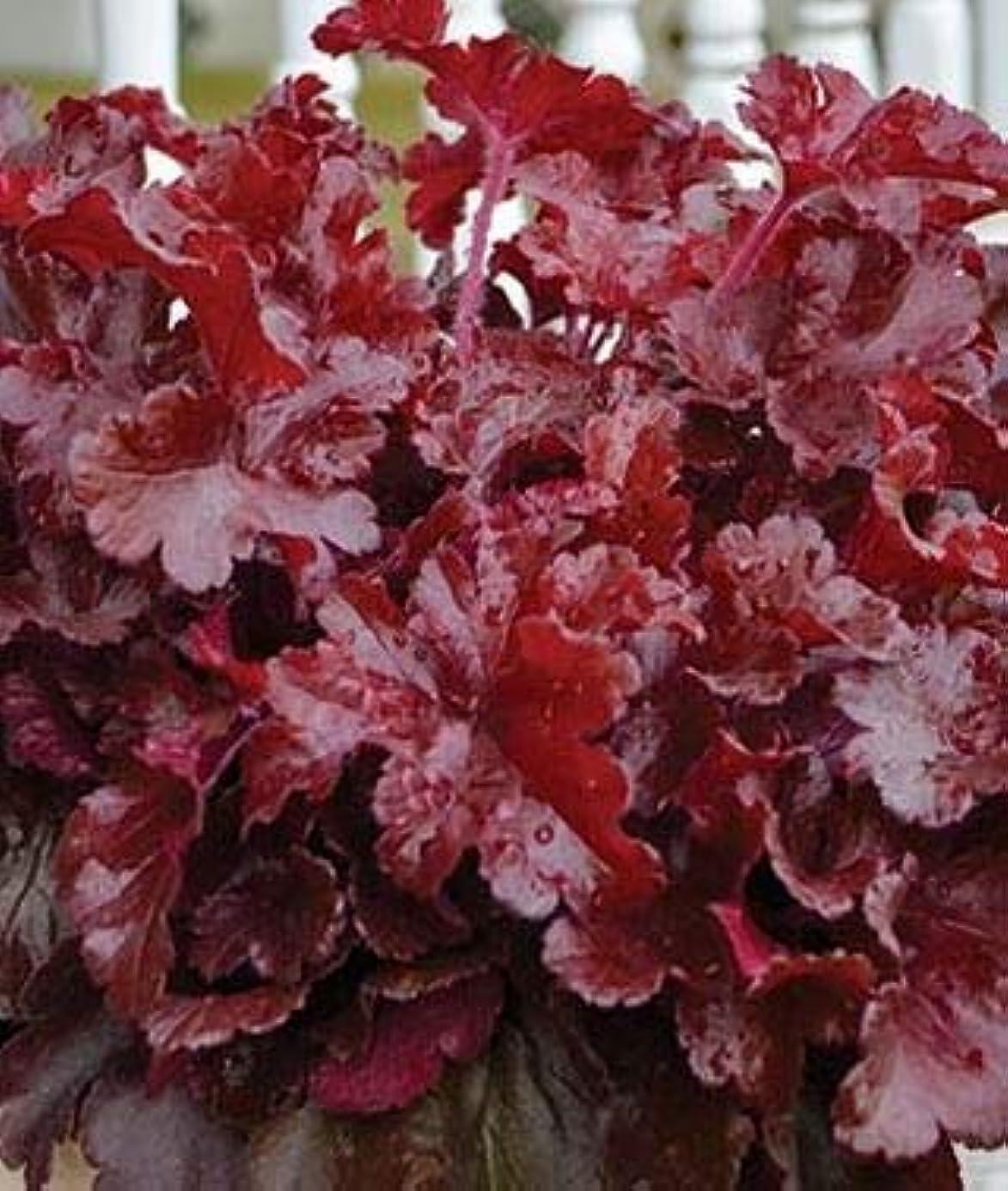 1 Heuchera Cherry Truffles - Coral Bells, Perennial Live Plant ECRF32