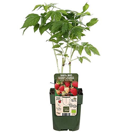 Rubus ideaus'Malling Promise'  ...