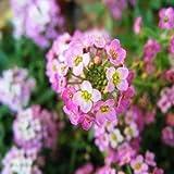 Dwarf Pink Sweet Alyssum Flower Seeds, 1000 Heirloom Flower Seeds Per Packet, Non GMO Seeds