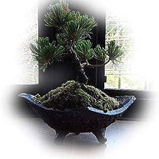 五葉松盆栽 盆栽 お父さんのプレゼントに盆栽