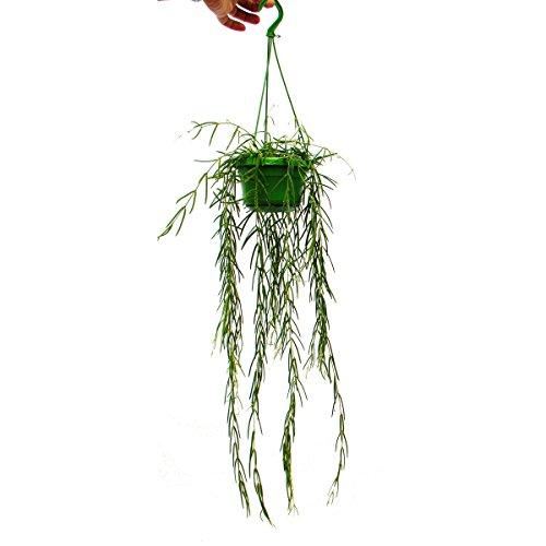 Exotenherz - Zimmerpflanze zum Hängen - Hoya linearis - Wachsblume 14cm Ampel