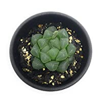 多肉植物 ハオルチア 青水晶 2.5号鉢 ハオルシア Haworthia
