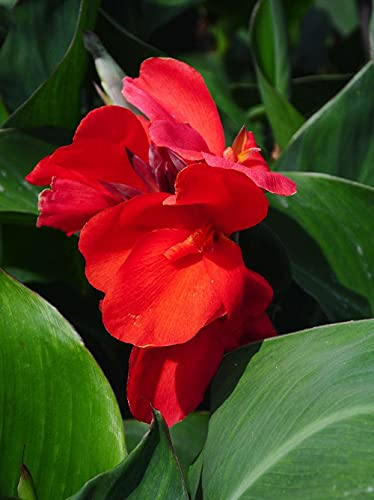 Canna Stammt Aus Amerika, Indien,Der Malaiischen Halbinsel Und Anderen Tropischen Regionen Und Kann Im Ganzen Land Angebaut Werden-Rhizom-3-zwiebeln,Rot-Canna
