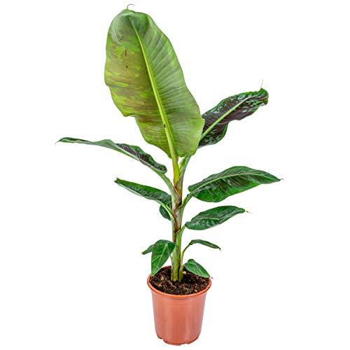 Bananenpflanze - Musa 'Dwarf Cavendish' pro Stück | Zimmerpflanze im Aufzuchttopf cm21 cm - 90-100 cm