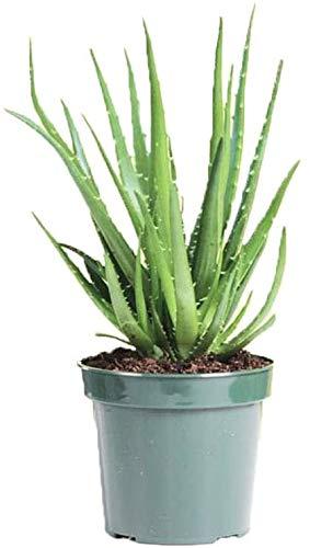 AMERICAN PLANT EXCHANGE Hedgehog Aloe Easy Care Succulent Live...