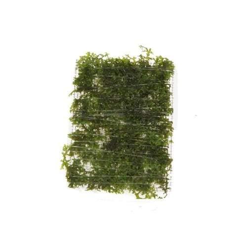 Mini Korallenmoos - Riccardia chamedryfolia - auf Gitter - pad