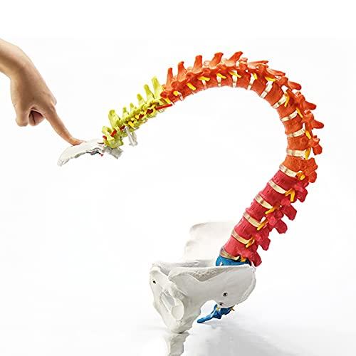 fall Modelo Flexible de la Columna Vertebral, la médula espinal didáctica de 33'con Soporte, regiones codificadas por Colores Indican la Columna Cervical, torácica y Lumbar