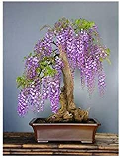 HIGH Germination Seeds ONLY NOT Plants: Tropica - Seed Wisteria (Bolusanthus speciosus) - 15 Seeds - Bonsai