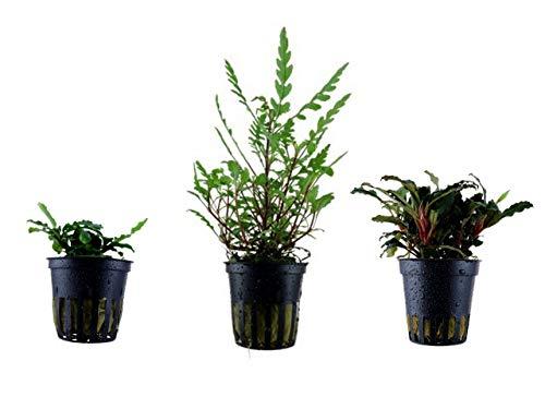 Tropica Exclusives Set mit 3 Topf Pflanzen Aquariumpflanzenset Nr.39 Wasserpflanzen Aquarium Aquariumpflanzen