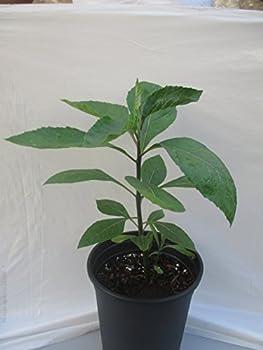 Best bitter leaf plant Reviews