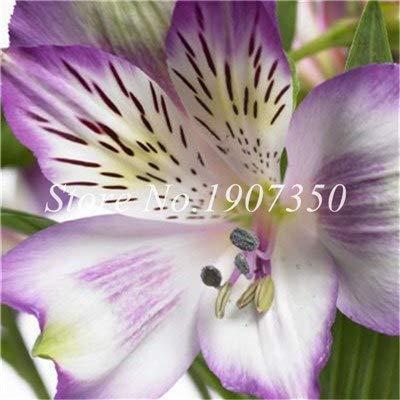 Shopmeeko Graines: Bonsai 100 Pcs Rare Bonsai Alstroemeria Beauté fleurs en pot Balcon Plantation Saisons Bonsai Color Mixed bonsaïs d'intérieur: 7
