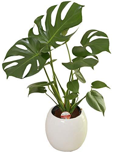 観葉植物 モンステラ6号ボール陶器鉢カバー(白)
