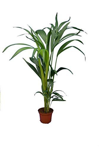 Kentia Palme Howea Forsteriana - wunderschöne Zimmerpflanze sehr pflegeleicht - Höhe 80-100cm Topf Ø 14 cm