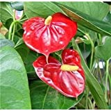 """SUMMER SPECIAL - Hawaiian Red Anthurium Plant 6 - 10 Inches in a 2"""" Pot"""