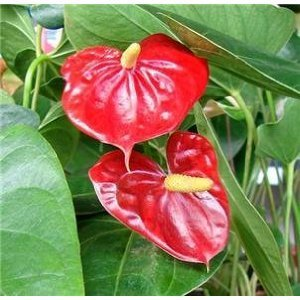"""Summer Special - Hawaiian Red Anthurium Plant 6-10 Inches in a 2"""" Pot"""