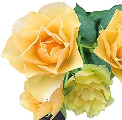 バラ苗 コハク 新苗植え替え7号専用角鉢入 黄色系 Rose for You(購入特典)ぼかし肥料1kg付き