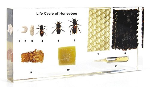 Lifecycle of a Honey Bee Science Classroom Specimens for Science Education