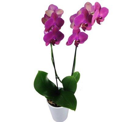 Lila Orchidee mit 2 Trieben - Inklusive Keramik Übertopf - Zimmerpflanze - Büropflanze