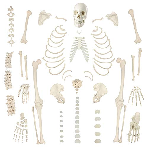 Disarticulated Human Skeleton Model for Anatomy 67 inch High, Full Size Skeleton Models with Poster, Skull, Bones, Articulated Hand & Foot, for Anatomy Art Halloween Decor