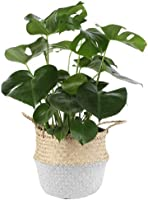 Costa Farms Swiss Cheese Monstera deliciosa, Indoor Plant in Seagrass Basket, 20-Inches Tall, Natural