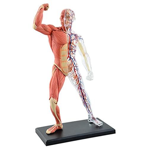 ZJM Menschliches Körper Anatomie-Modell, 4D-Vision-Menschlicher Muskeln Und Skelett Anatomie-Modell-Human-Torso-Modell-Kit, 45-Teilige DIY-Puzzle-Montage-Spielzeug