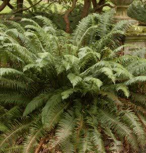 Schwertfarn - Polystichum munitum