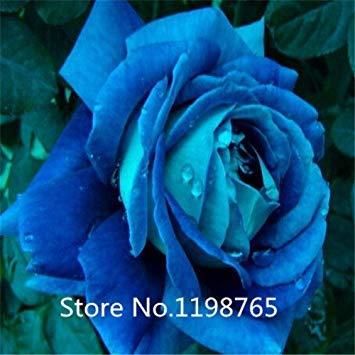VISTARIC Feu vert: 10 Pcs Canna Graines Beautiful Flower Seed Mix Indica Lily Jardin des plantes Ampoules Fleurs extérieur Bonsai Flores pot. Accueil cadeau