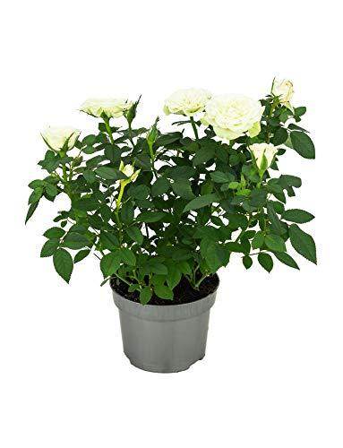 Rosal Mini Flor de Color Blanco 10cm Planta Natural en Maceta